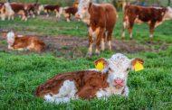 Kalbsfleisch: Auf die richtige Zubereitung kommt es an